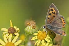 A small orange butterfly on a yellow flower royalty free stock photography