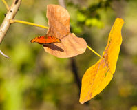 Orange Butterfly on yellow leaf Royalty Free Stock Photos