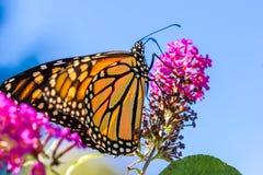 Orange Butterly auf purpurroten Blumen Stockbilder