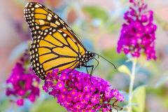 Orange Butterly on Purple Flowers. Monarch feeding from nectar on Butterfly Bush Nanho Purple Butterfly royalty free stock images