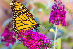 Orange Butterly on Purple Flowers Royalty Free Stock Photography