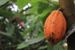 Orange cacao fruit in the botanical garden of Gothenburg, chocolate, fruits, food, edible plant Royalty Free Stock Photo