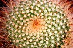 Orange Cactus Royalty Free Stock Photography