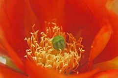 Orange Cactus Flower. Closeup on the bright orange flowers of a cactus stock image