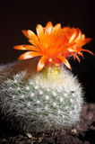 Orange cactus flower Stock Photos