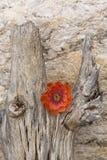 Orange cactus flower on dead trunk of saguaro. Single, orange flower is sharp, metaphoric contrast on dead saguaro wood. Location is Tucson, Arizona in America&# stock image
