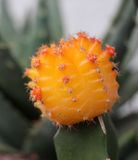 orange cactus flower Stock Photo