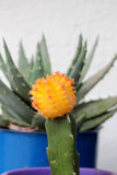 orange cactus flower Royalty Free Stock Photos
