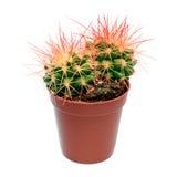 Orange cactus in flowerpot Royalty Free Stock Photography