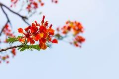 Orange Caesalpinia pulcherrima Stock Photo