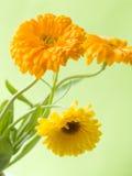 Orange calendula. The orange and flowers of calendula by large plan royalty free stock image