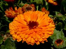 Orange Calendula Stock Photos