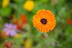 Orange calendula on a blurred floral background Stock Photos