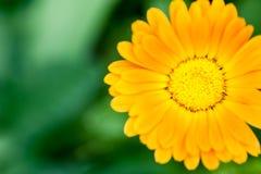 Orange calendula flower close-up Stock Photos