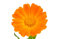 Orange calendula flower Stock Images