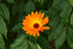 Orange calendula flowers, Blooming marigold in summer garden royalty free stock photos