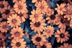 Orange Calendula flowers Stock Photos