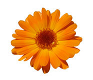 Orange Calendula getrennt auf Weiß lizenzfreie stockbilder