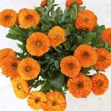 Orange calendula (marigold) flowers Stock Images