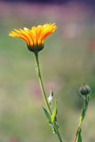 Orange Calendula officinalis flower Stock Image