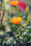 Orange Calendula officinalis Stock Photography