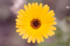 Orange calendula officinalis flowers medical blooming in the garden. stock photography