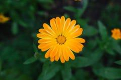 Orange calendula på en bakgrund av gröna sidor Arkivfoto