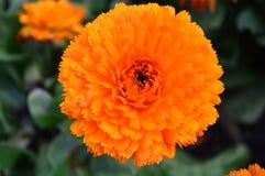 Orange Calendula Stock Images
