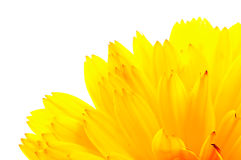 Orange Calendula (Pot Marigold) Flower Petals Stock Photography