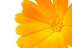 Orange Calendula (Pot Marigold) Flower on White Ba. A close-up of bright orange calendula officinalis (pot marigold) flower on a white background Stock Photos