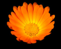 Orange Calendula (Ringelblume) Stockfoto