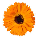 Orange calendula on white background Stock Images