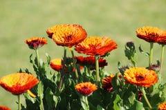 Orange Calendulas in the Garden Stock Photos