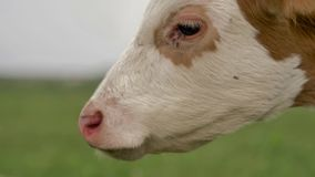 Orange calf tied to chain grazes on green lawn and looks around and into camera stock footage
