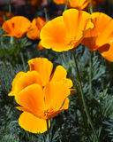 Orange California Poppies Royalty Free Stock Images