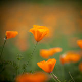Orange california poppy in the sun. With space for your design stock image