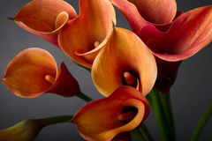 Orange Calla lilies(Zantedeschia) over black Royalty Free Stock Photo
