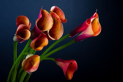 Orange Calla lilies (Zantedeschia) over black Royalty Free Stock Photos