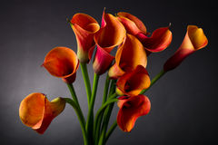 Orange Calla lilies (Zantedeschia) over black Stock Images