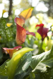 Orange calla lily. Colorful blossom calla lily plant mixed in the garden Royalty Free Stock Image