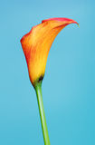 Orange Calla Lily Flower Stock Photography