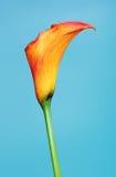 Orange Calla Lily Flower Stock Photography