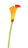 Orange Calla Lily Flower Stock Images