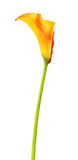 Orange Calla Lily Flower Stock Image