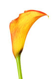 Orange Calla Lily Flower Royalty Free Stock Photo