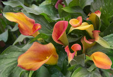 Orange calla lily with many leaves. As floral background royalty free stock photography