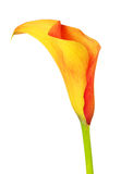 Orange Calla Lily Royalty Free Stock Images