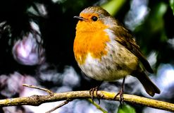 Orange Canary bird sitting on a tree branch Stock Images