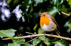 Orange Canary bird sitting on a tree branch Royalty Free Stock Image