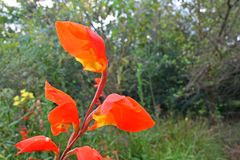 Orange Canna blomma Royaltyfri Bild
